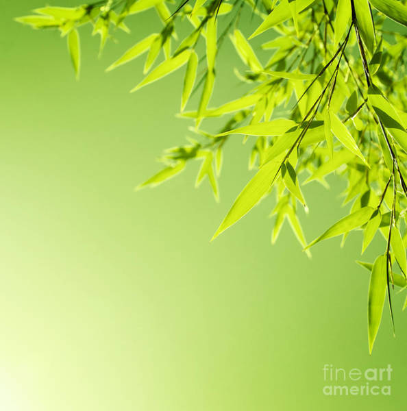 Bamboo Shoots Photograph - Fresh Bamboo Leaves Border by Anna Om