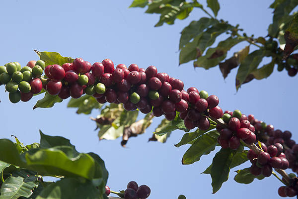 Photograph - Fresh Coffee by Tony and Kristi Middleton