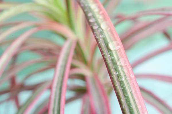 Photograph - Fresh Dracaena by Margaret Pitcher