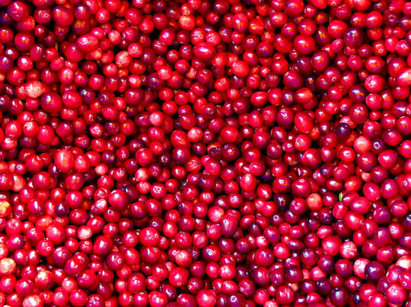 Photograph - Freshly Picked Red Cranberries by Chantal PhotoPix