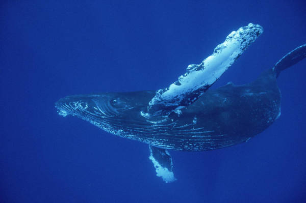 Photograph - Friendly Humpback Whale Off Maui by Flip Nicklin
