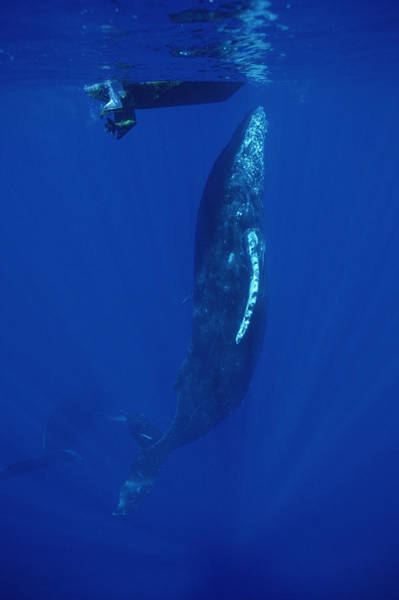 Photograph - Friendly Humpback Whale Singer by Flip Nicklin