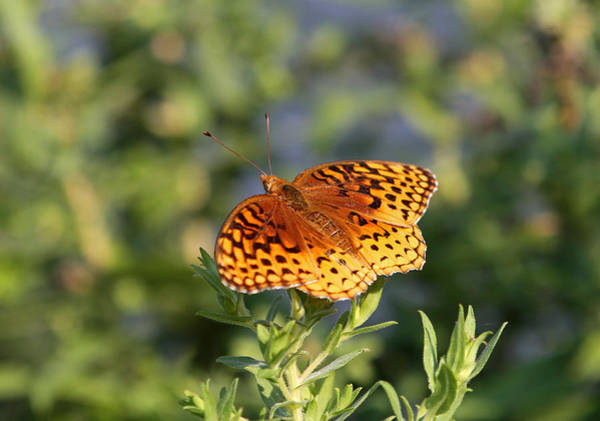 Photograph - Fritillary by Juergen Roth