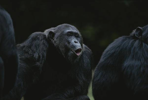 Gombe National Park Wall Art - Photograph - Frodo Hoots After Hearing Other Chimps by Michael Nichols