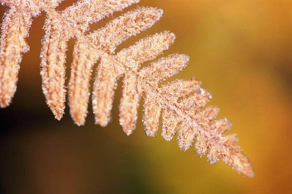 Fern Frost Photograph - Frost On A Fern Leaf by Natural Selection Craig Tuttle