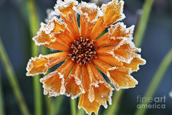 Photograph - Frosty Flower by Elena Elisseeva