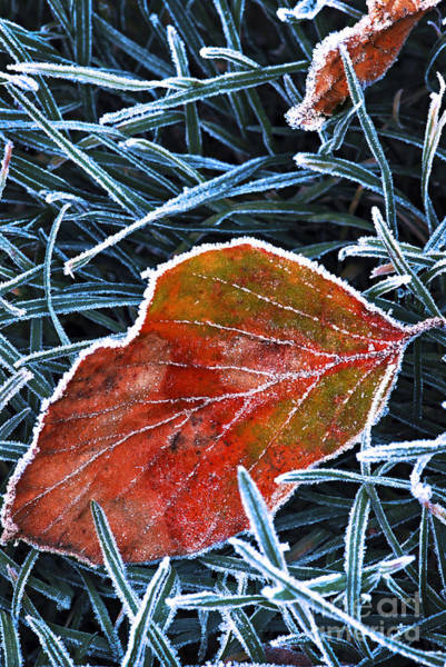 Photograph - Frosty Leaf by Elena Elisseeva
