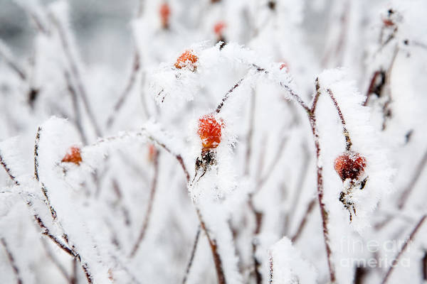 Wall Art - Photograph - Frosty Rose Bushes by Kati Finell