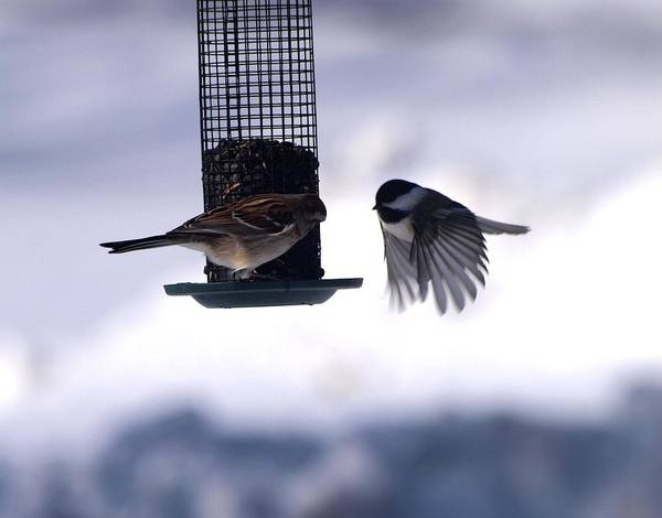 House Sparrow Photograph - Frozen In Flight 3 by Joshua House