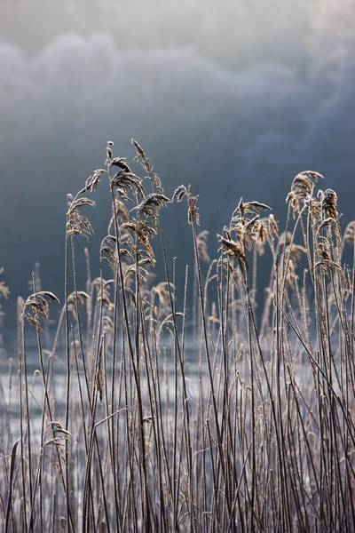 Wall Art - Photograph - Frozen Reeds At The Shore Of A Lake by John Short