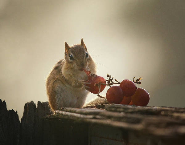 Chipmunk Wall Art - Photograph - Fruit Of The Vine by Susan Capuano