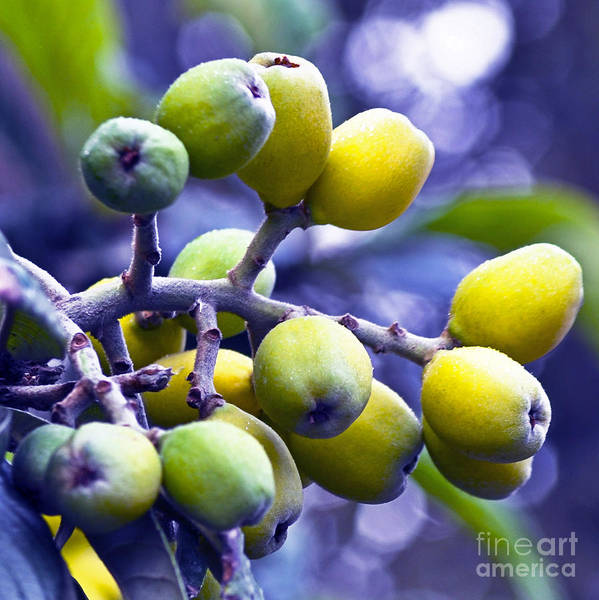 Photograph - Sicilian Fruits by Silva Wischeropp