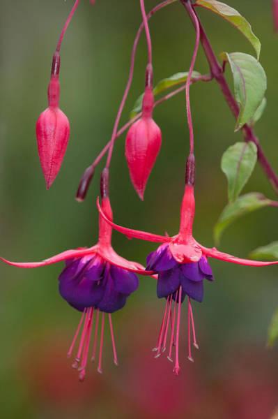 Photograph - Fuchsia by Craig Ratcliffe