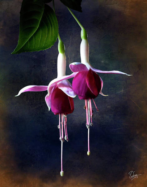 Photograph - Fuchsia by Endre Balogh