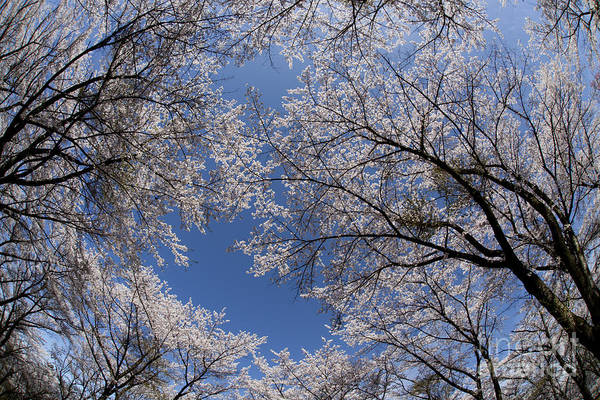 Full Bloomed Sakura Art Print