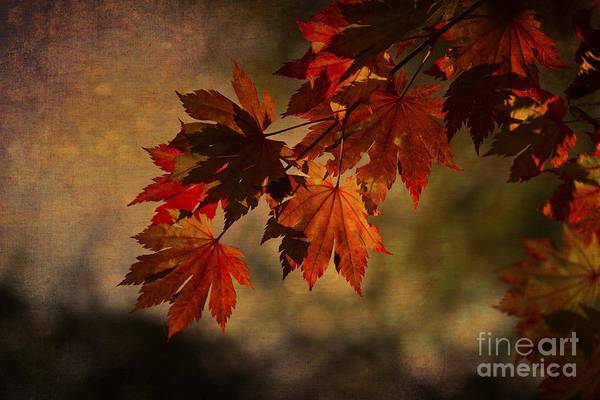 Photograph - Full Moon Maple by Clare Bambers