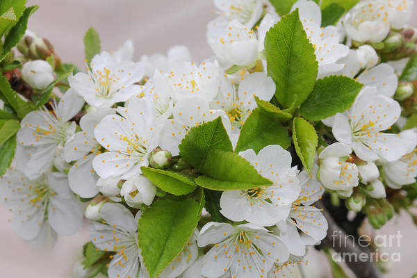 Photograph - Full White Spring Blooms by Donna L Munro