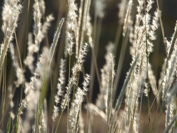 Photograph - Fuzzy Grass by James Granberry
