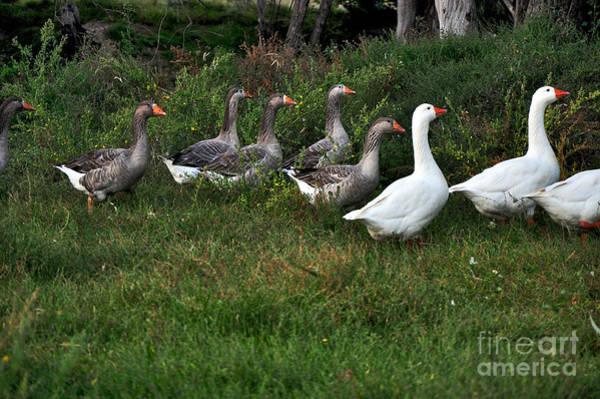 Gander Photograph - Gaggle Of Geese by Kaye Menner