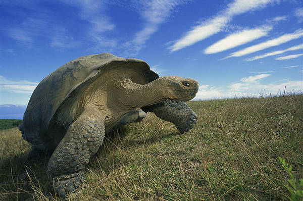 Photograph - Galapagos Giant Tortoise Geochelone by Tui De Roy