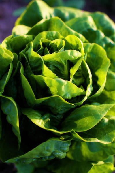 Photograph - Garden Fresh Buttercrunch Lettuce by Angela Rath
