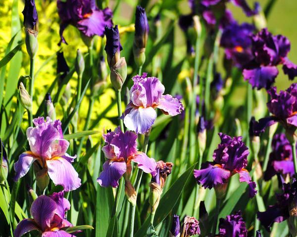 Photograph - Garden Of Irises by Jai Johnson