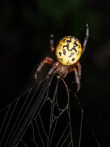 Photograph - Garden Spider by Jim DeLillo