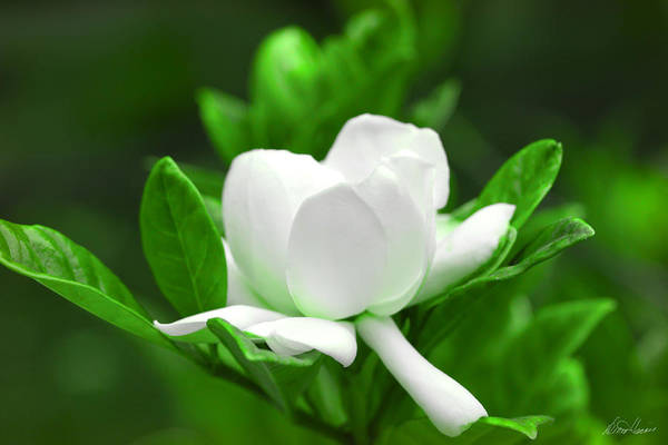 Photograph - Gardenia by Diana Haronis