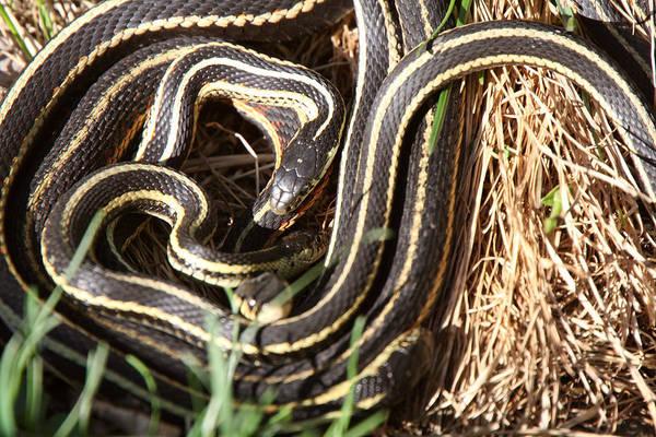 Wildlife Refuge Digital Art - Garter Snakes Mating by Mark Duffy