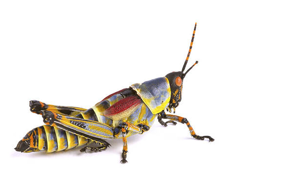 Wall Art - Photograph - Gaudy Grasshopper Silaka Nature Reserve by Piotr Naskrecki