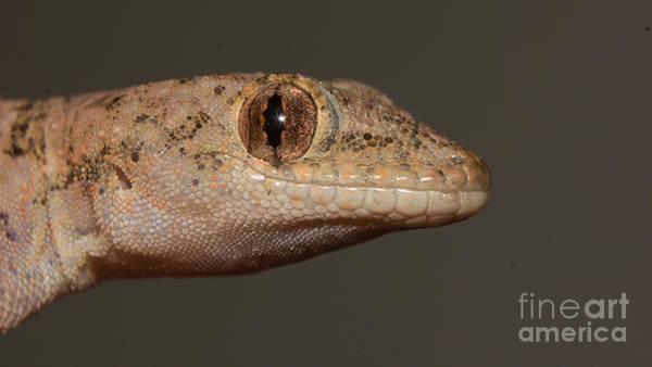 Photograph - Gecko Portrait by Mareko Marciniak