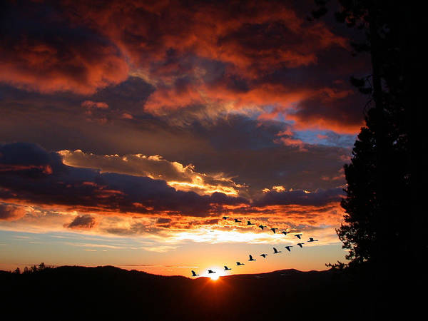 Photograph - Geese Flying At Sunset by Shane Bechler