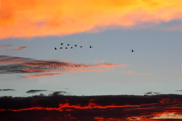 Photograph - Geese In Flight At Sunset by Rick Wicker