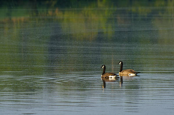 Photograph - Geese On The Lake by Lori Coleman