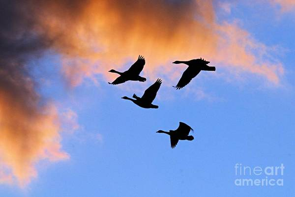 Photograph - Geese Silhouetted At Sunset - 1 by Larry Ricker