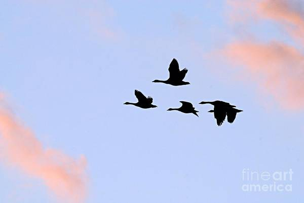 Photograph - Geese Silhouetted At Sunset - 3 by Larry Ricker