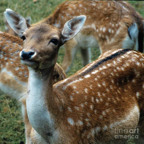 Photograph - Gentle Deer by Heiko Koehrer-Wagner