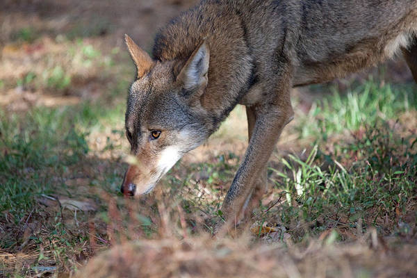 Red Wolf Photograph - Gentle Wolf by Karol Livote