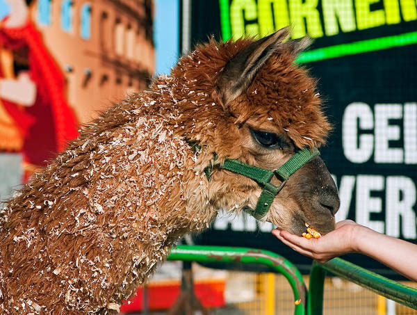 Petting Zoo Photograph - Gentleness by Steve Harrington