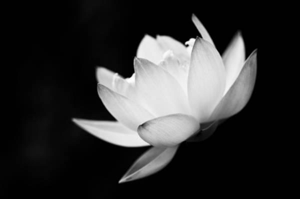 Photograph - Ghost Lotus II by Priya Ghose