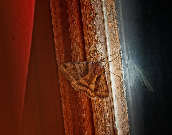 Moth Photograph - Ghostly Visage by Susan Capuano