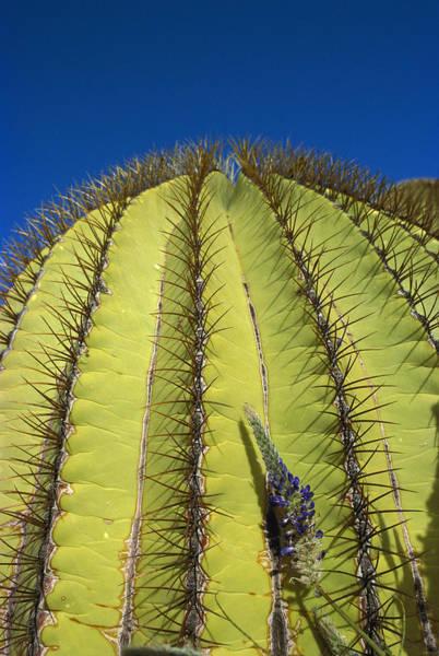 Photograph - Giant Barrel Cactus Ferocactus Diguetii by Tui De Roy