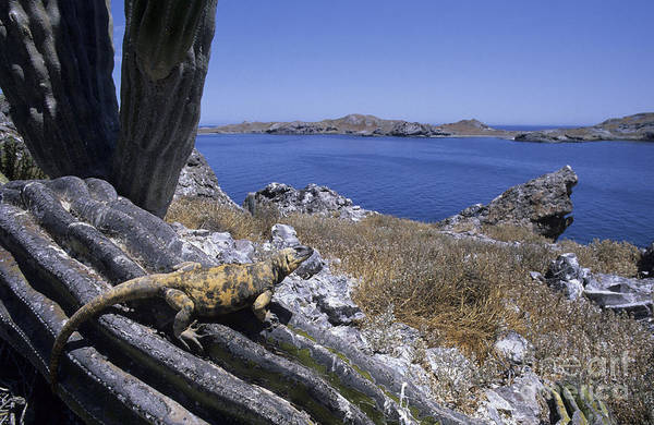 Chuckwalla Photograph - Giant Chuckwalla by Chris Mattison and FLP and Photo Researchers