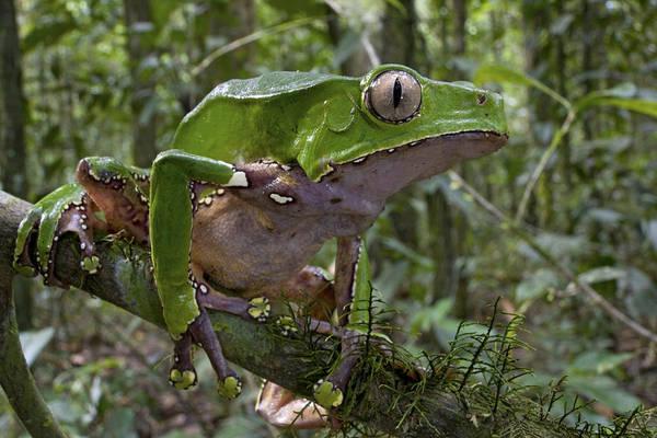 Wall Art - Photograph - Giant Monkey Frog In Rainforest Surinam by Piotr Naskrecki