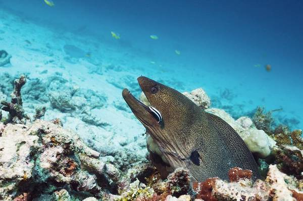 Wall Art - Photograph - Giant Moray Eel And Cleaner Wrasse by Georgette Douwma