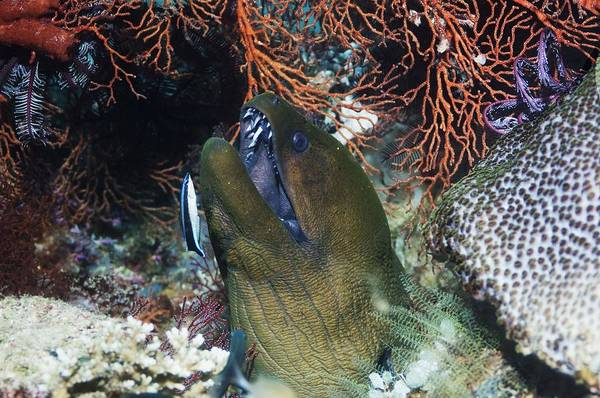Wall Art - Photograph - Giant Moray Eel by Georgette Douwma