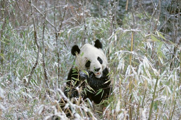Photograph - Giant Panda Ailuropoda Melanoleuca by Konrad Wothe