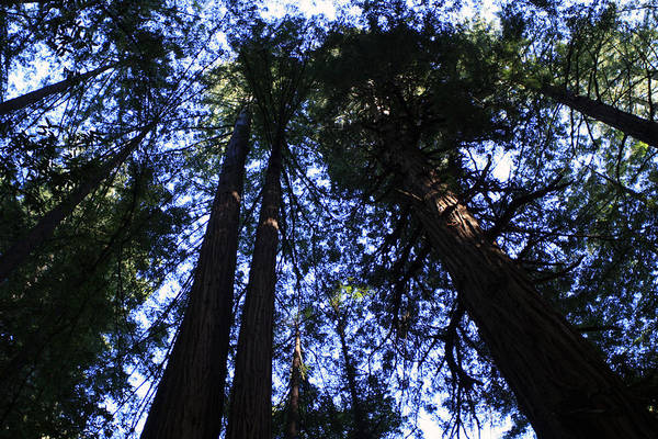 Photograph - Giant Redwoods, Muir Woods, California by Aidan Moran