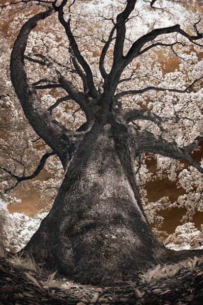 Photograph - Giant White Oak by Steve Zimic