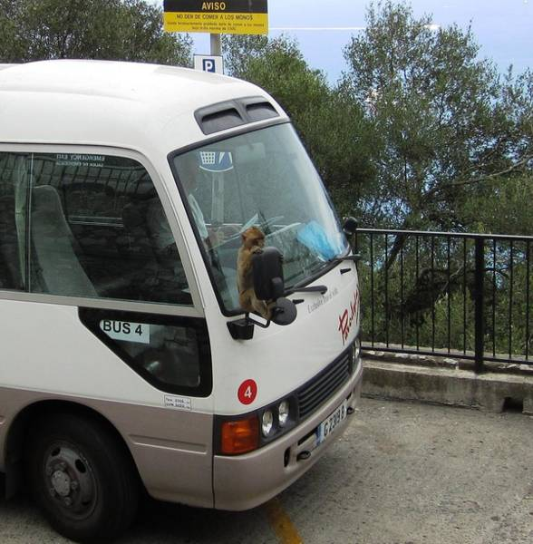 Photograph - Gibraltar Ape Monkey Bus Ride Uk Territory by John Shiron
